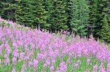Fireweed (Courtesy: Banff Sunshine Meadows)