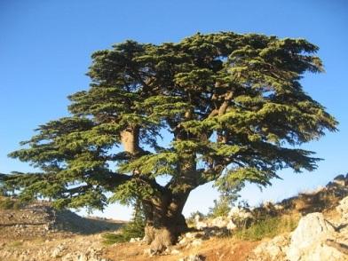 The Cedars of Lebanon (Courtesy: the-end-time.blogspot.com)