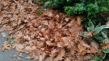 Oak leaves, Stanley Park, Vancouver, Canada. 24 October 2015. (Photo: Hendrik Slegtenhorst)