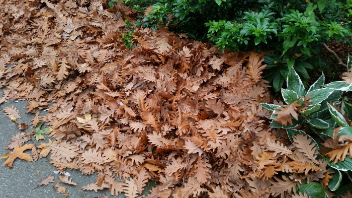 Oak leaves, Stanley Park, Vancouver, Canada. 24 October 2015. (Photo: Hendrik Slegtenhorst)