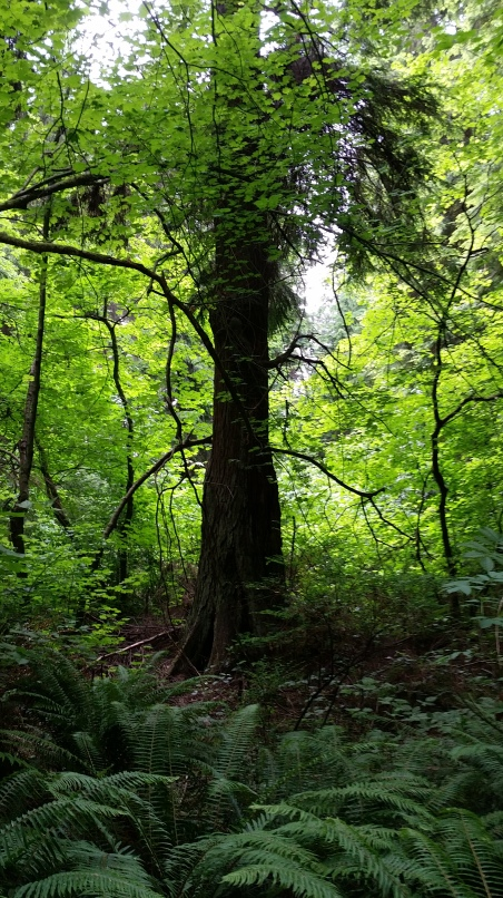 Solitary tree in the light of the beginning of summer, Tatlow Walk, Stanley Park, Vancouver. 22 June 2015. (Photo: Hendrik Slegtenhorst)